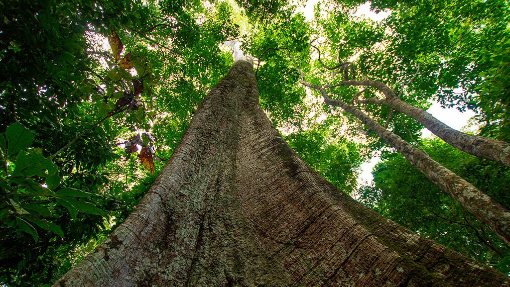 Árvore antiga na floresta amazonica